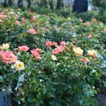 ROSA OSO EASY ITALIAN ICE Shrub Rose