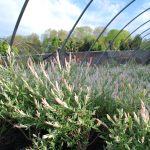 SALIX INTEGRA HAKURA NISHIKI Japanese Variegated Willow