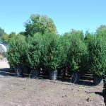 ILEX CRENATA CHESAPEAKE Upright Japanese Holly