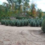 PICEA PUNGENS Colorado Blue Spruce