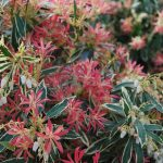 PIERIS JAPONICA FLAMING SILVER Japanese Androme new growthda