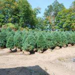 PINUS STROBUS Eastern White Pine