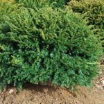 TAXUS BACATA REPANDENS Spreading English Yew