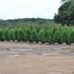 THUJA OCCIDENTLIAS NIGRA Dark American Arborvitae