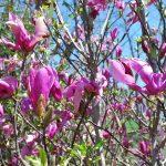 MAGNOLIA X SUSAN Saucer type Magnolia hybrid