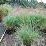 MISCANTHUS GRACILIS ADAGIO Dwarf Maiden Grass
