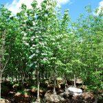 CORNUS X VENUS Flowering Hybrid Dogwood