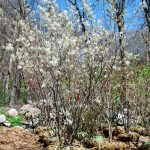 AMELANCHIER X AUTUMN BRILLIANCE Serviceberry